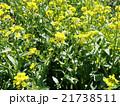 菜の花 21738511