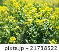 菜の花 21738522
