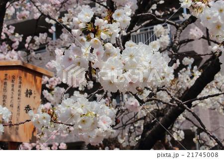 大阪造幣局の静香桜 21745008