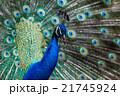 孔雀のポートレート 21745924