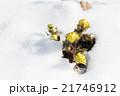 雪と福寿草 21746912