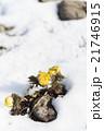 雪と福寿草 21746915