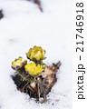 雪と福寿草 21746918