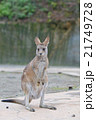カンガルー 動物 有袋類の写真 21749728
