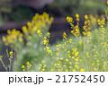 埼玉県川口市 芝川に咲く菜の花 21752450