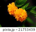 花 ヤマブキ 植物の写真 21753439