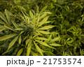 マリファナ合法と医療大麻 21753574