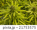 マリファナ合法と医療大麻 21753575