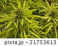マリファナ合法と医療大麻 21753613