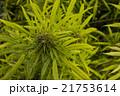 マリファナ合法と医療大麻 21753614