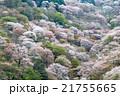 桜 吉野山 吉野桜の写真 21755665