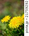 春の野原の咲くタンポポのクローズアップ 21759292