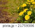 春の野原の咲くタンポポのクローズアップ 21759306