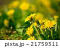 春の野原の咲くタンポポのクローズアップ 21759311