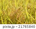 稲穂 稲作 秋の写真 21765840