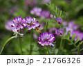 植物 草花 花の写真 21766326