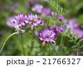 植物 草花 花の写真 21766327