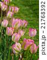 ピンクのチューリップ 21768392