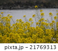 菜の花と水面 21769313