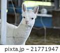 アルパカ 21771947