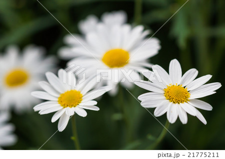 White Daisy Flowers 21775211