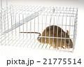 捕獲カゴに捕まったネズミ 21775514