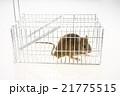 捕獲カゴに捕まったネズミ 21775515