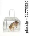 捕獲カゴに捕まったネズミ 21775520