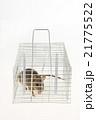 捕獲カゴに捕まったネズミ 21775522