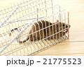 捕獲カゴに捕まったネズミ 21775523
