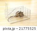 捕獲カゴに捕まったネズミ 21775525