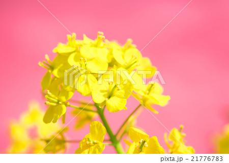 菜の花(ピンクバック) 21776783