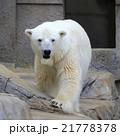 ホッキョクグマ 21778378