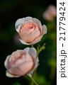 薔薇 21779424
