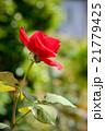 薔薇 21779425