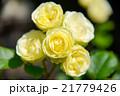 薔薇 21779426