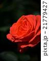 薔薇 21779427