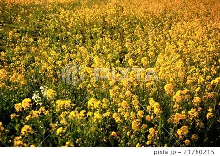 菜の花畑のグラデーション 21780215
