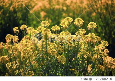 逆光の菜の花畑 21780216