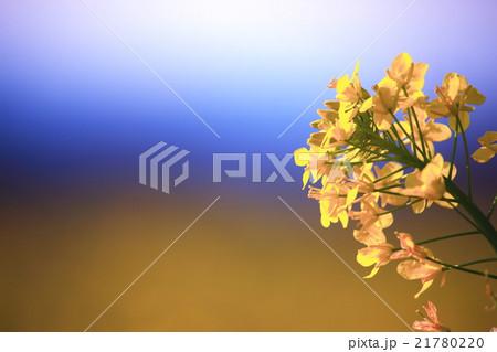 菜の花のアップ、青空の背景 21780220