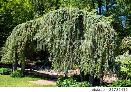 枝垂れタイプのヨーロッパトウヒ Picea abies 'Pendula' 21785456