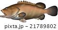 クエ ベクター 魚のイラスト 21789802
