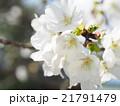 桜 植物 白色の写真 21791479