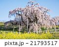 三春滝桜 21793517