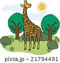 野生動物 キリン 21794491