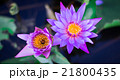Beautiful lotus flower colorful 21800435