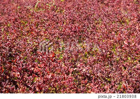 Red Plant in NONG NOOCH TROPICAL GARDEN 21803938
