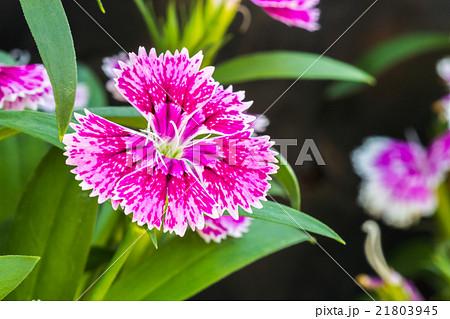 Dianthus chinensis 21803945