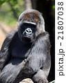 ゴリラ 類人猿 哺乳類の写真 21807038