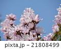 ヒメコブシ 青空 花の写真 21808499
